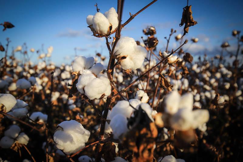 Cotone dello Xinjiang